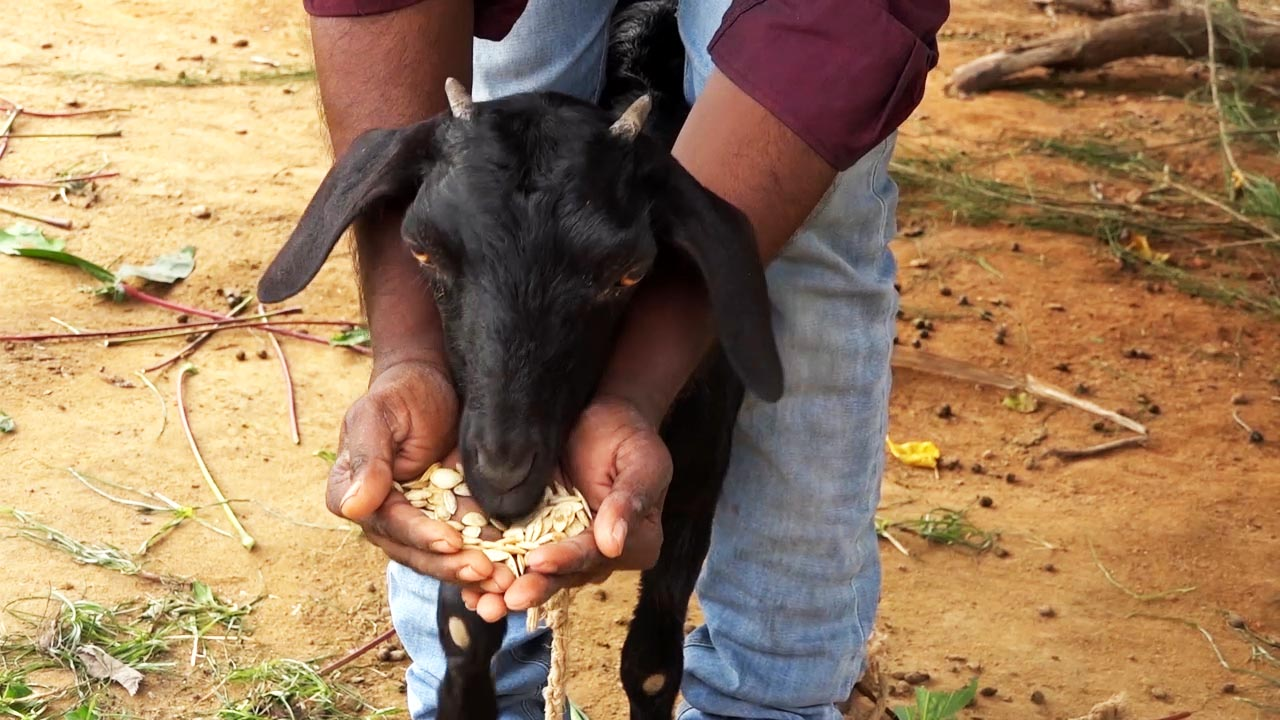 Sheep & Goats | Access Agriculture